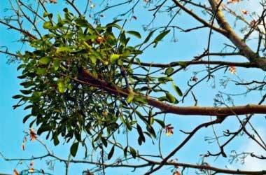 Полезные свойства омелы для здоровья